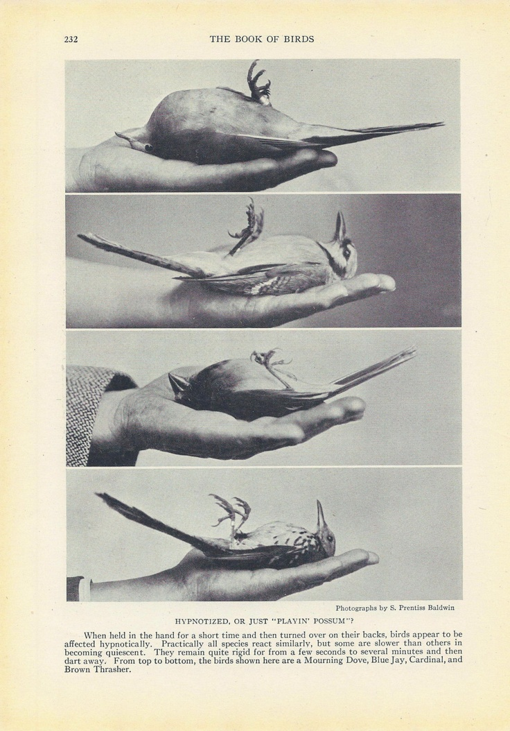 Birds Playing Dead, Vintage Photo, 1920s, Black and White, National Geographic Society. $7.00, via Etsy.