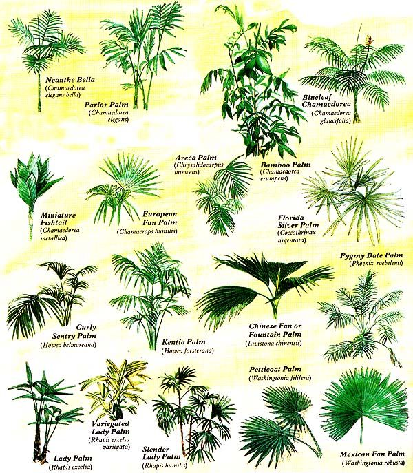 Grow tropical palms at home charts plants and gardening for Garden trees types