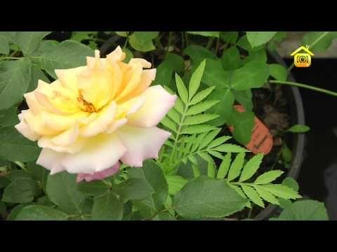 Розы. Посадка и уход (ForumHouseTV) - YouTube
