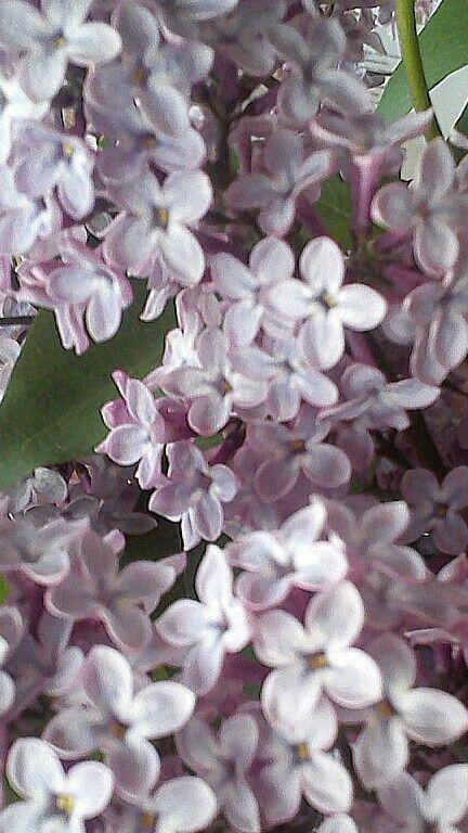 Lilaki kwitną w maju