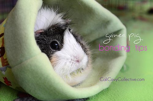 7 Tips for Bonding With Your Guinea Pig