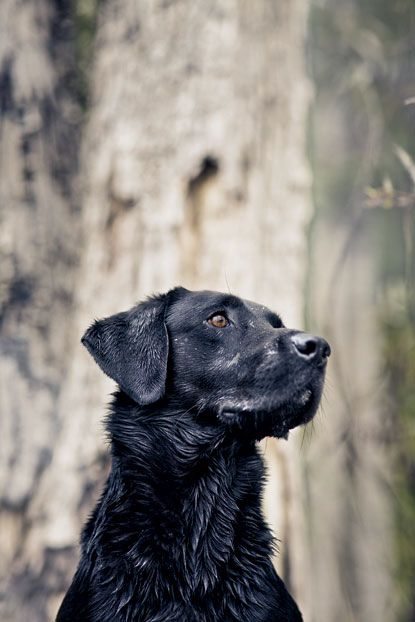 Beautiful Black LabLabrador Retriever, Puppies, Black Dogs, Gardens, Covers Photos, Things, Magazines Covers, Black Labs, Black Labrador