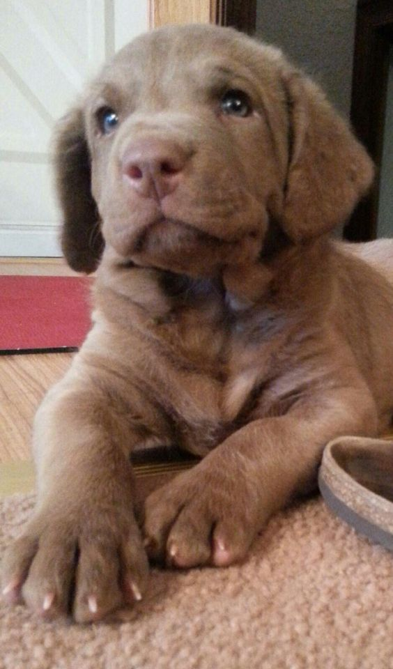 Chesapeake Bay Retriever Pup - Aayla at 6 weeks!