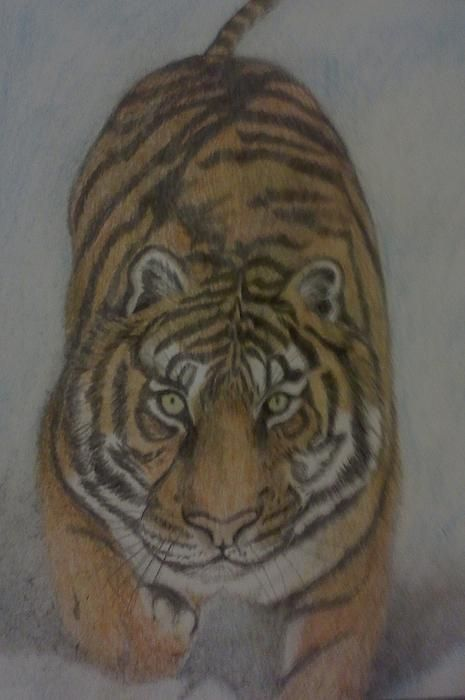 Realistic colored pencil sketch of tiger in the snow by Christy Brammer Tigers are among the most recognisable and popular of the world's charismatic megafauna. They have featured prominently in ancient mythology and folklore, and continue to be depicted in modern films and literature
