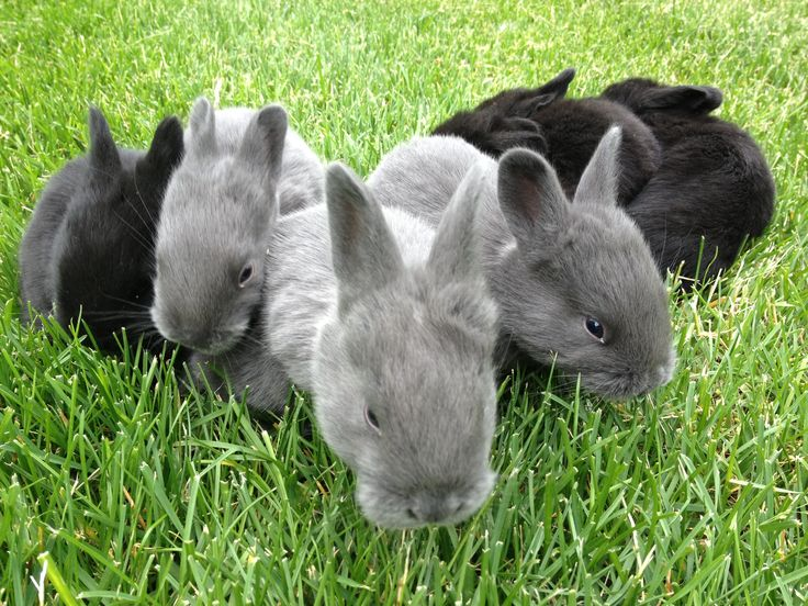 Silver fox rabbits are a rare heritage breed of rabbit. They are gentle, have large litters and they grow well on pasture.