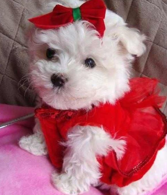296 best pictures of maltese images on pinterest maltese for Christmas pictures of baby animals