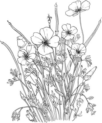 Click To See Printable Version Of Golden Poppy Or California Coloring Page