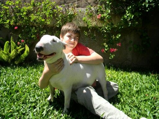 Bull terrier criadero la shanna