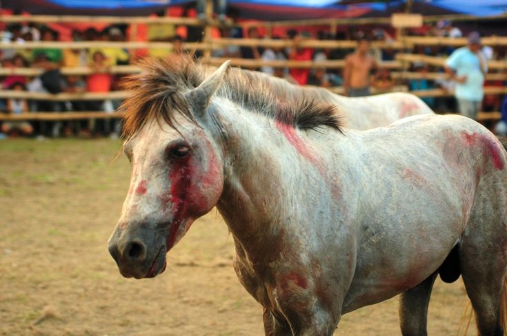 Network for Animals campaigns against the cruel practice of horse fighting, a blood sport prevalent on the island of Mindanao in the southern Philippines. There is no justification for the level of cruelty involved in horse fighting: It is an outdated spectator blood sport, which celebrates pain and suffering.