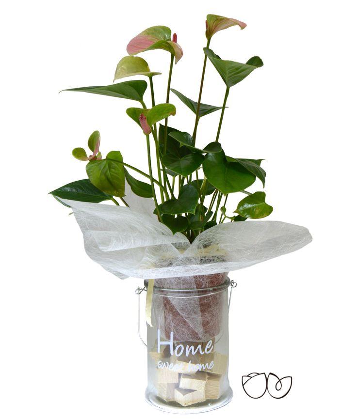*Planta Anthurium* Con esta bonita planta decorativa de interior de Anthurium, llamativa por sus grandes hojas en forma de corazón, en color verde,puedes tener un detalle perfecto con una persona especial.