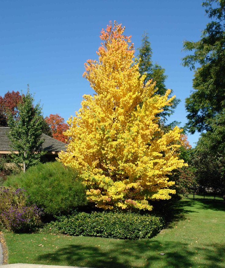 Cercidiphyllum katsura tree fall color landscape for Garden trees shrubs