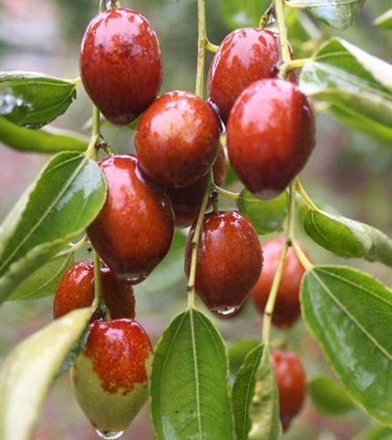 Niewielkie drzewo lub krzew dorastający do 3m wys. i 3m szer. Jadalne owoce o smaku jabłka mają właściwości lecznicze. Owoce osłabiają działanie toksyn, dzięki temu odciążają działanie organów wewnętrznych. Zawierają dużo żelaza, witamin oraz aminokwasów. Poprawia nastrój, zmniejsza uderzenia gorąca, ma działanie odświeżająco - pobudzające oraz jest doskonałym środkiem krwiotwórczym. Dzięki swym korzystnym składnikom jest ogromnie skondenso