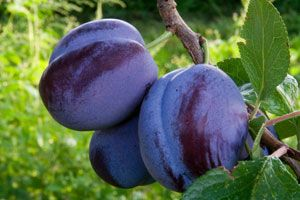 Blue damson plum  likely to handle drought moderately well  grows in zone 5-9, to about 12-15' tall. Self fertile!  fruiting size costs about $60 (for 7-8' tree)