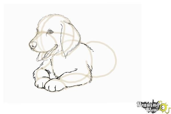 How To Draw A Golden Retriever Puppy Step 8 Golden Retriever Drawing Dog Drawing Tutorial Puppy Drawing