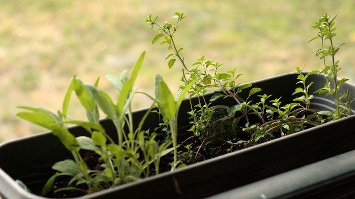 Hage eller ei, hva med litt ureist mat? Så lenge du har vindu kan du dyrke mat innendørs.