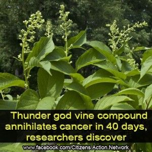 Chinese Plant Compound Wipes out Cancer in 40 Days, Says New Research - Live Free, Live Natural