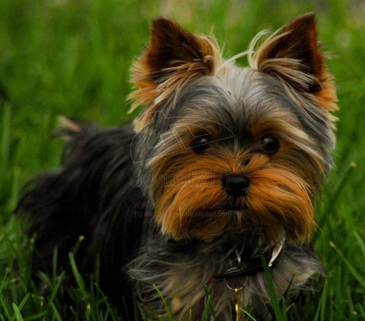 yorkie hair cut | Yorkshire terrier yorkie yorky by ~houstonryan on deviantART