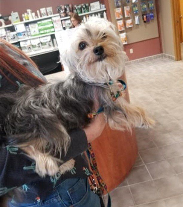 Is This Your Dog Prior Lake Terrier Yorkie Female Date Found 05 03 2019 Breed Of Dog Yorkshire Terrier Yorkie Gender Female Losing A Dog Dog Ages Dogs