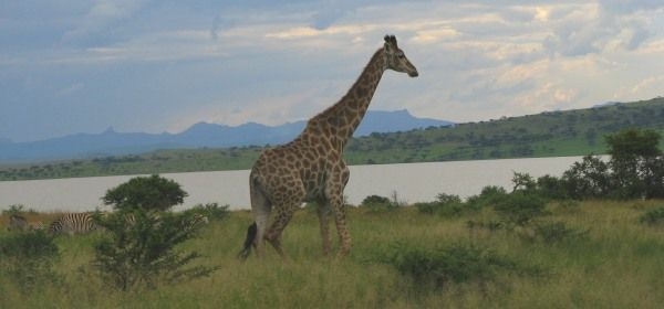 Giraffe at Spioenkop Nature Reserve. http://www.n3gateway.com/the-n3-gateway-route/ezemvelo-kzn-wildlife-spioenkop-royal-nature-reserve.htm