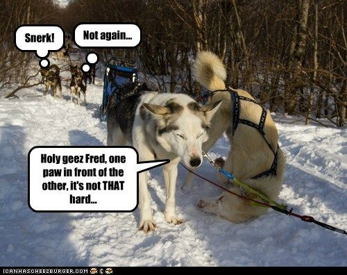 Funny Husky Pictures with Captions | ... husky - Page 5 - Loldogs n Cute Puppies - funny dog pictures