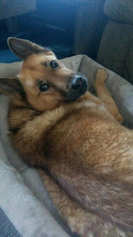 My dog Sassy who is a German Shepherd Chow Chow mix