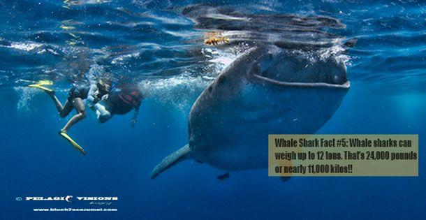 #whaleshark #tours #Cancun #Cozumel #PlayadelCarmen #Mexico tours start June 1 .Plan and book with Blue H2o Cozumel www.blueh2ocozumel.com