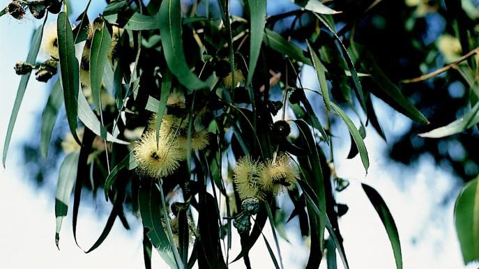 This is a Eucalypts tree from Australia it is a producer.