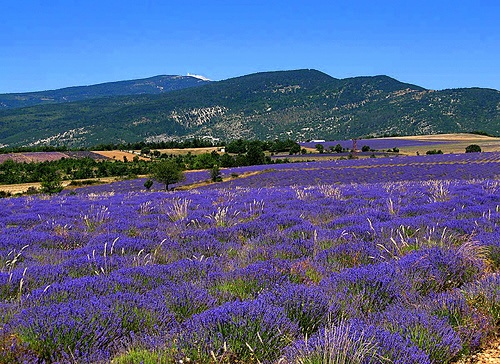 13 best Lavender Provance images on Pinterest Lavender fields
