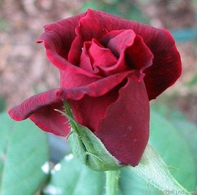 OKLAHOMA - - - - - - - - - - - - - - - - -   I love this very fragrant long stem rose.  It can get mold on leaves, because the rose is planted on the Northside of my house,   Catch it in time, and it won't get ahead of you.Stem Rose, Sonoran Deserts, Long Stem, Fragrant Long