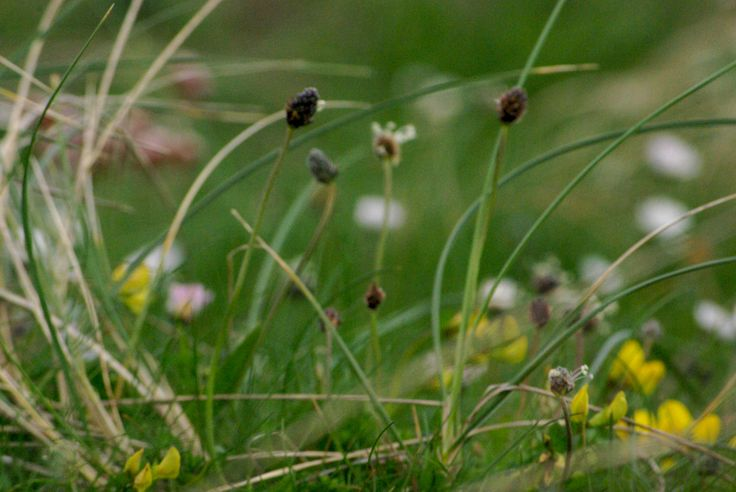 ...in the middle of May, the Machair begins to come alive.
