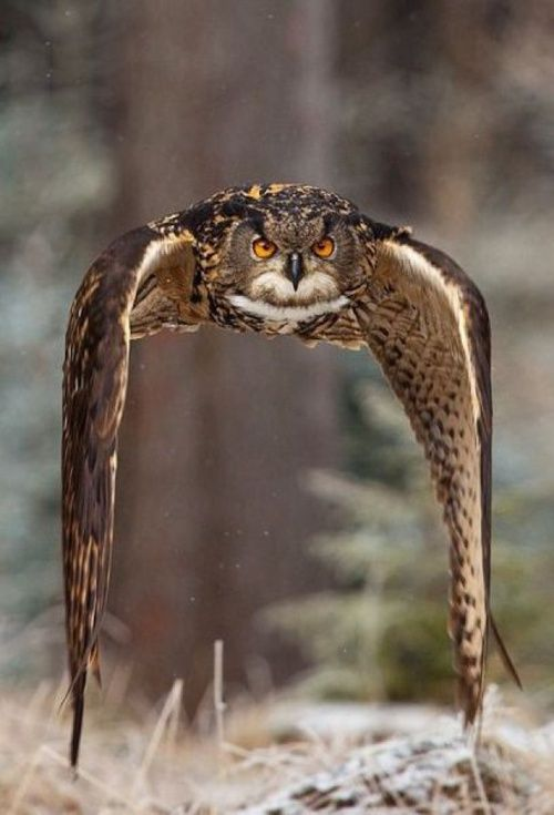 Owl in fight ~ Majestic: Photos, Native American Art, Natural Photography, Beautiful, Eagles Owl, Birds, Snowy Owl, Robert Adamec, Animal
