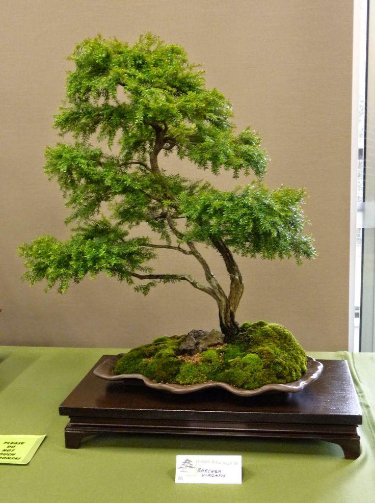 Bonsai Pottery: Post 150 Australian Native Bonsai Exhibition