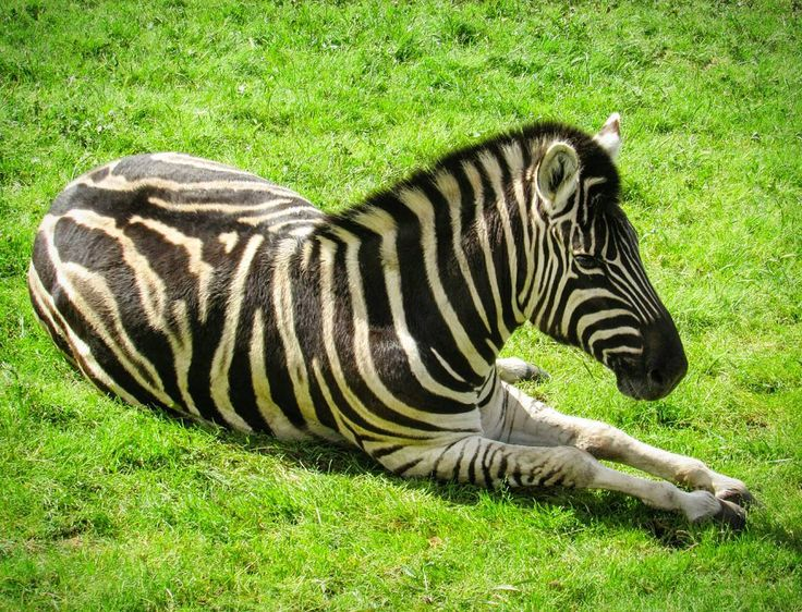 Just as no two human fingerprints are alike, no two zebras have the same stripe pattern ♡ a reminder that we are all unique