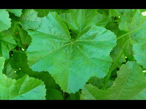 Mallow Plant Nutrition, Foraging for Wild Malva Leaves