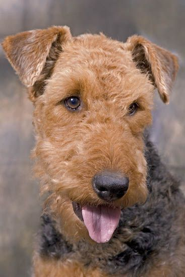 Airedale Terrier....miss my good buddy..Keegan. Airedale's are wonderful dogs, although you need have a good sense of humor!