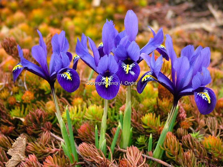 Garden combination of reticulated iris (Iris reticulata) underplanted with ground cover of 'Angelina' sedum (Sedum rupestre 'Angelina') still in its orangey winter color