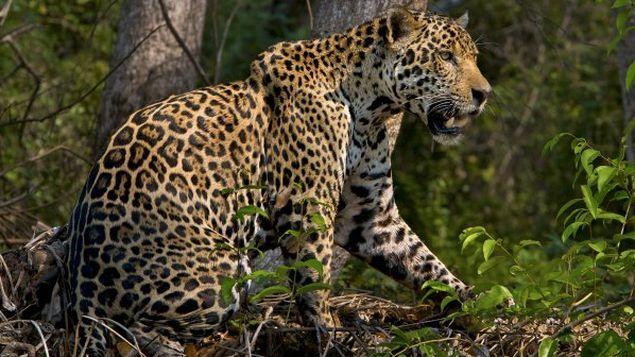Comunidades cercanas al Parque Nacional Chagres, buscan proteger a jaguar amenazado