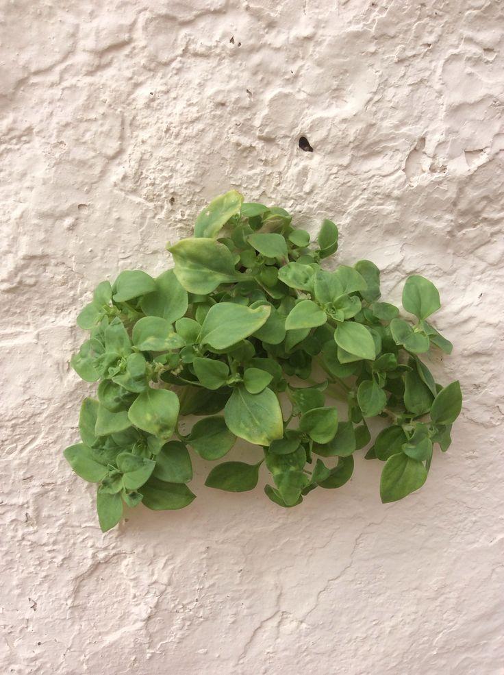 Verwondering....plantjes die uit de muur groeien. #groen