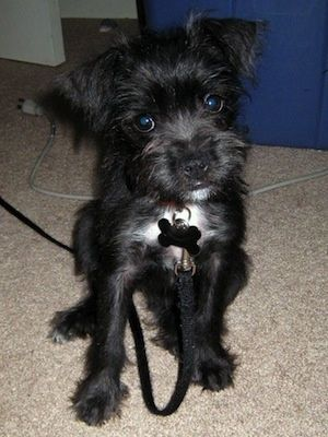 boston terrier- miniature schnauzer mix