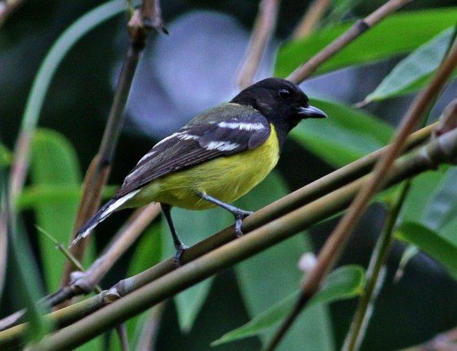 De palawanmees (Pardaliparus amabilis; synoniem: Parus amabilis) is een zangvogel die alleen voorkomt in de Filipijnen