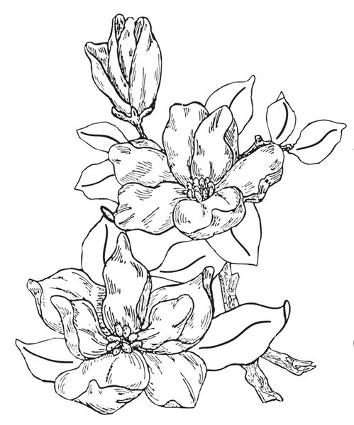Magnolias - Rubber Stamps