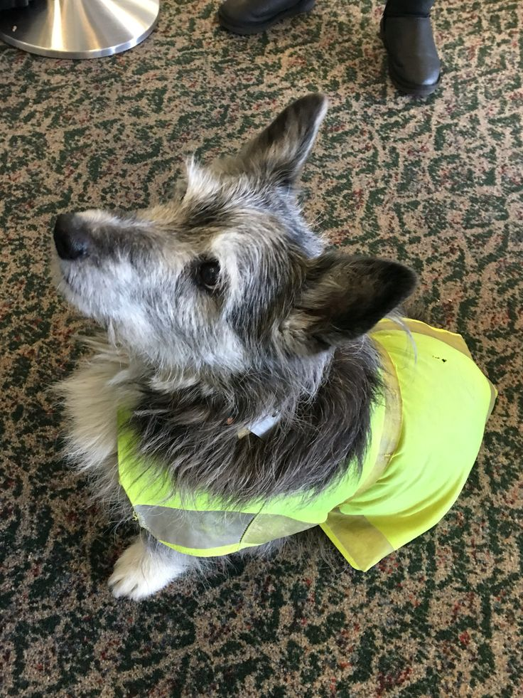 "AWESOME ""emotional support animal"" for employees at Eagle/Vail Airport! Sooooo cute!"