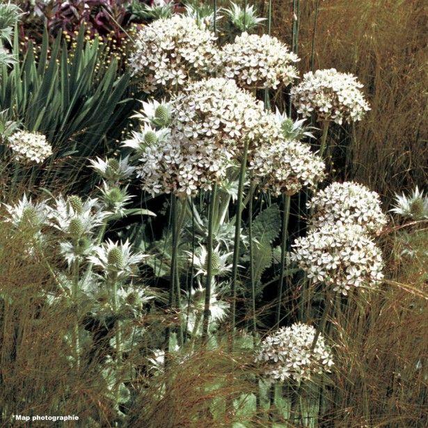 Allium nigrum - Ail d'ornement