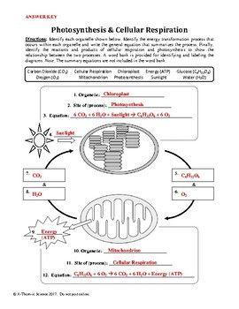 38+ Cellular respiration worksheet pdf Info