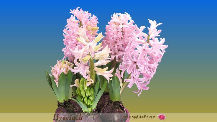Timelapse of Growing Pink Hyacinth Flower.