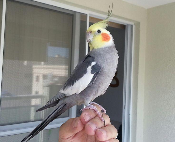 Tem uma calopsita e quer ensiná-la a falar? Então confira nossas dicas! #animais #pets #calopsita #ave