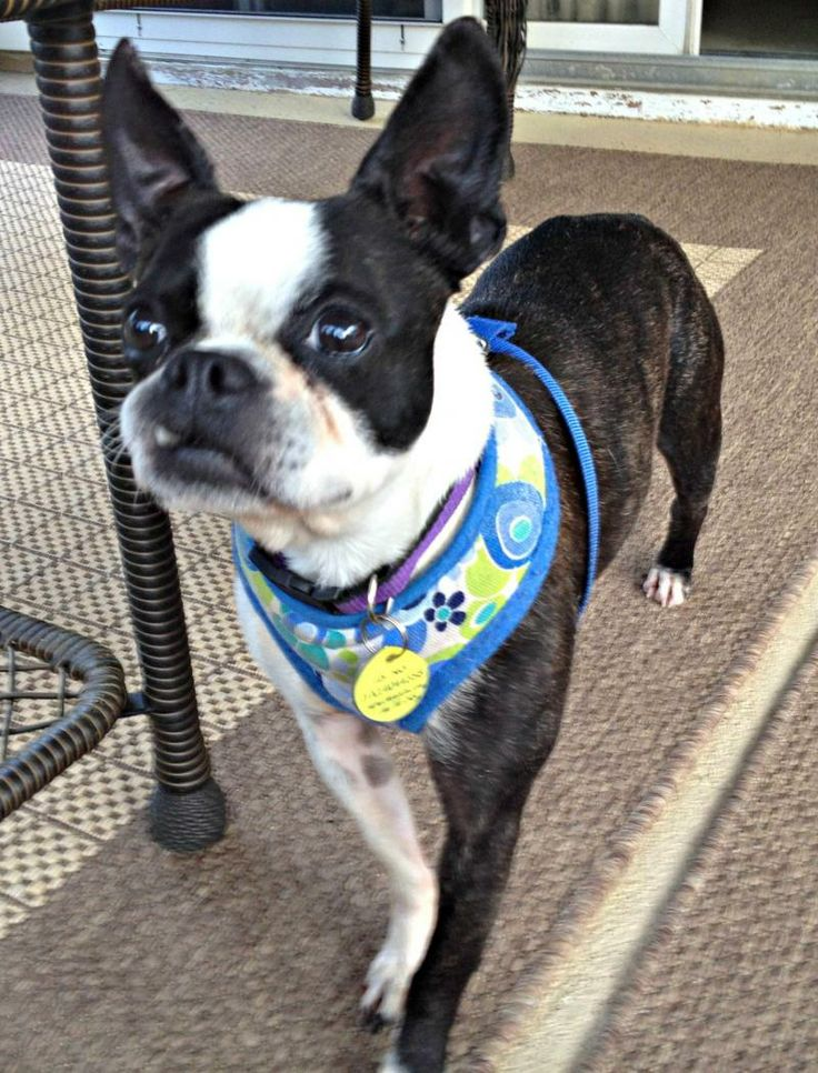 Boston terrier breeder in nc