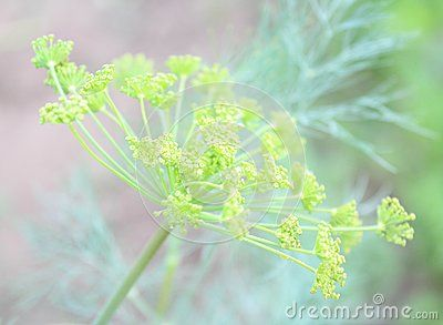 Some dill in a garden