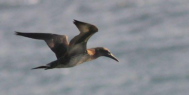 Familia Sulidae   Morus bassanus / Sula bassana   Alcatraz atlántico, Alcatraz común, Pájaro Bobo del Norte / Northern Gannet
