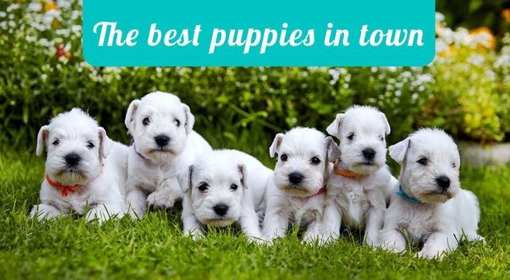 Puppies for Sale Miami, Jack Russell Terrier Puppies for Sale Miami, Bichon Frise Puppies for Sale Miami, Chinese Crested Puppies for Sale Miami, Akita Puppies for Sale Miami, Pekingese Puppies for Sale Miami, Border Collie Puppies for Sale Miami, Boston Terrier Puppies for Sale Miami, Westie Puppies for Sale Miami, Shiba Inu Puppies for Sale Miami, Yorkshire Terrier Puppies for Sale Miami, Chihuahua Puppies for Sale Miami, pomeranian puppies for sale in miami